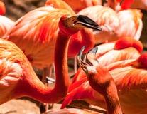 Różowych Caribean flamingów zamknięty up Obraz Stock