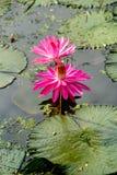Różowych colour bliźniaków lotosowy kwitnienie z zielenią opuszcza w stawie obraz stock