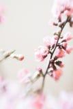 Różowych czereśniowego okwitnięcia gałąź selekcyjna miękka ostrość Fotografia Royalty Free