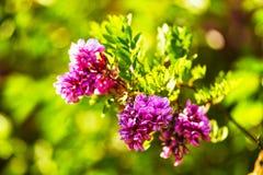 Różowych grochodrzewów kwiatów zamknięty up Purpurowa akacja obraz stock