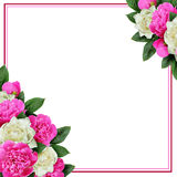 Różowych i białych peonia kwiatów narożnikowy przygotowania i rama Fotografia Stock