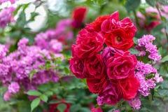 Różowych i czerwonych róż krzaki blisko do each inny, kwiatu tło obraz stock