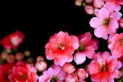 Różowych kwiatów miękka ostrość Zdjęcia Royalty Free