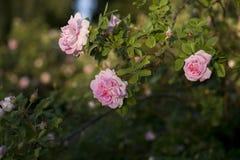 Różowych róż pogodny letni dzień zdjęcia stock