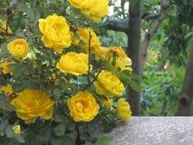 róży piękny kolor żółty fotografia stock