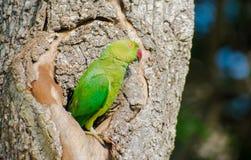 Róży upierścieniony parakeet lub ringowy necked parakeet Fotografia Royalty Free
