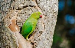 Róży upierścieniony parakeet lub ringowy necked parakeet Zdjęcia Royalty Free