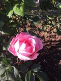 Róża Zdjęcia Royalty Free