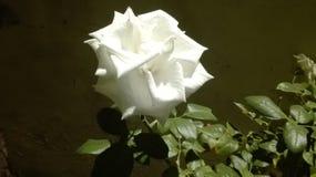 Róża Obraz Royalty Free