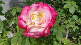 Róża Zdjęcie Stock