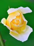 różana hybryd herbata Zdjęcie Stock