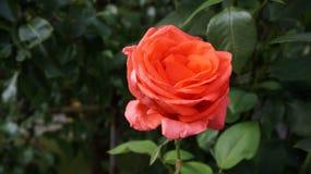Różana rewolucjonistka Zdjęcia Royalty Free