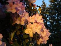 Różaneczników kwiaty Obrazy Royalty Free