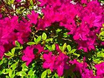 Różaneczników kwiaty Zdjęcie Royalty Free