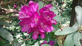Różaneczników kwiaty zdjęcia royalty free