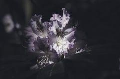 różanecznik Obraz Stock
