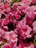 różanecznik Fotografia Stock