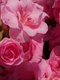 różanecznik Obrazy Stock