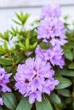 Różanecznik (Ericaceae) Zdjęcie Royalty Free