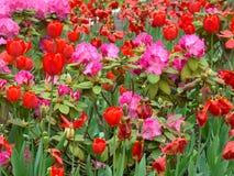 Różanecznik i tulipany Obraz Royalty Free