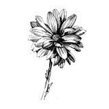 Różani atramentu rysunku kwiaty Fotografia Stock