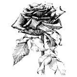 Różani atramentu rysunku kwiaty Obrazy Royalty Free