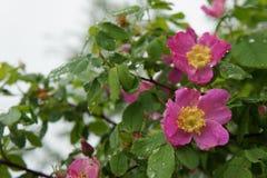 Różani biodra z kroplami woda Fotografia Royalty Free
