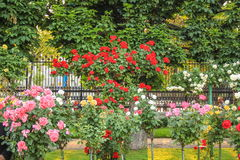 Różani krzaki Obrazy Royalty Free