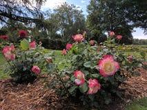 Różani krzaki w parku Zdjęcia Royalty Free