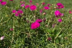Różani mech kwiaty Obraz Stock