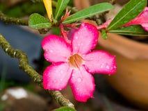 Różani pustynia kwiaty Fotografia Stock