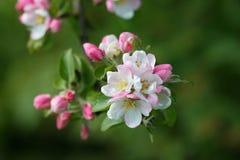 Różany biodro Fotografia Stock