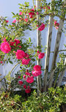 Różany Bush winograd Zdjęcia Royalty Free