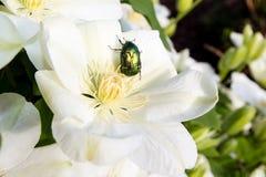 Różany chafer na clematis kwiacie Obraz Stock