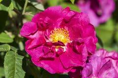 Różany gallica var officinalis Obraz Royalty Free