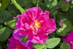 Różany gallica var officinalis Zdjęcia Royalty Free