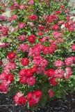Różany krzak Zdjęcia Stock