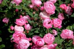 Różany krzak w ogródzie Obrazy Stock