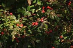 Różany krzak z jagodami Obrazy Stock