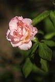 Różany kwiatu ogród Zdjęcie Stock