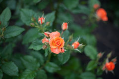 Różany kwitnienie Obraz Royalty Free