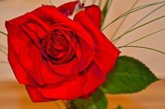 Różany serce Obraz Royalty Free