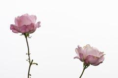 róże Obrazy Royalty Free