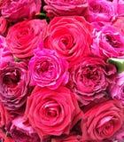 róże Fotografia Stock