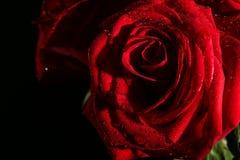 - róże Fotografia Stock