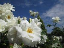 Róże 03 Kambas Zdjęcie Royalty Free