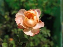 Róże 04 Kambas Fotografia Stock