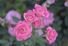 Róże kwitnie w ogródzie Fotografia Royalty Free