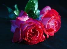Róże na ciemnym tle Zdjęcia Royalty Free