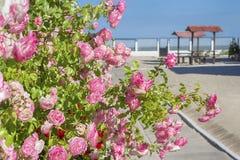 Róże na nadmorski Zdjęcia Stock